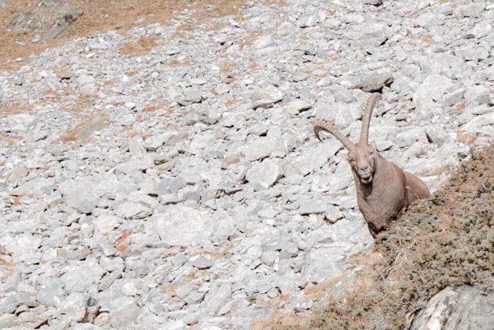 Voir des bouquetins chamois en Savoie parc de la vanoise