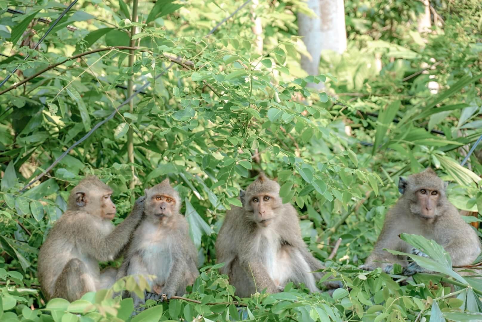singe à Koh Chang Thailande