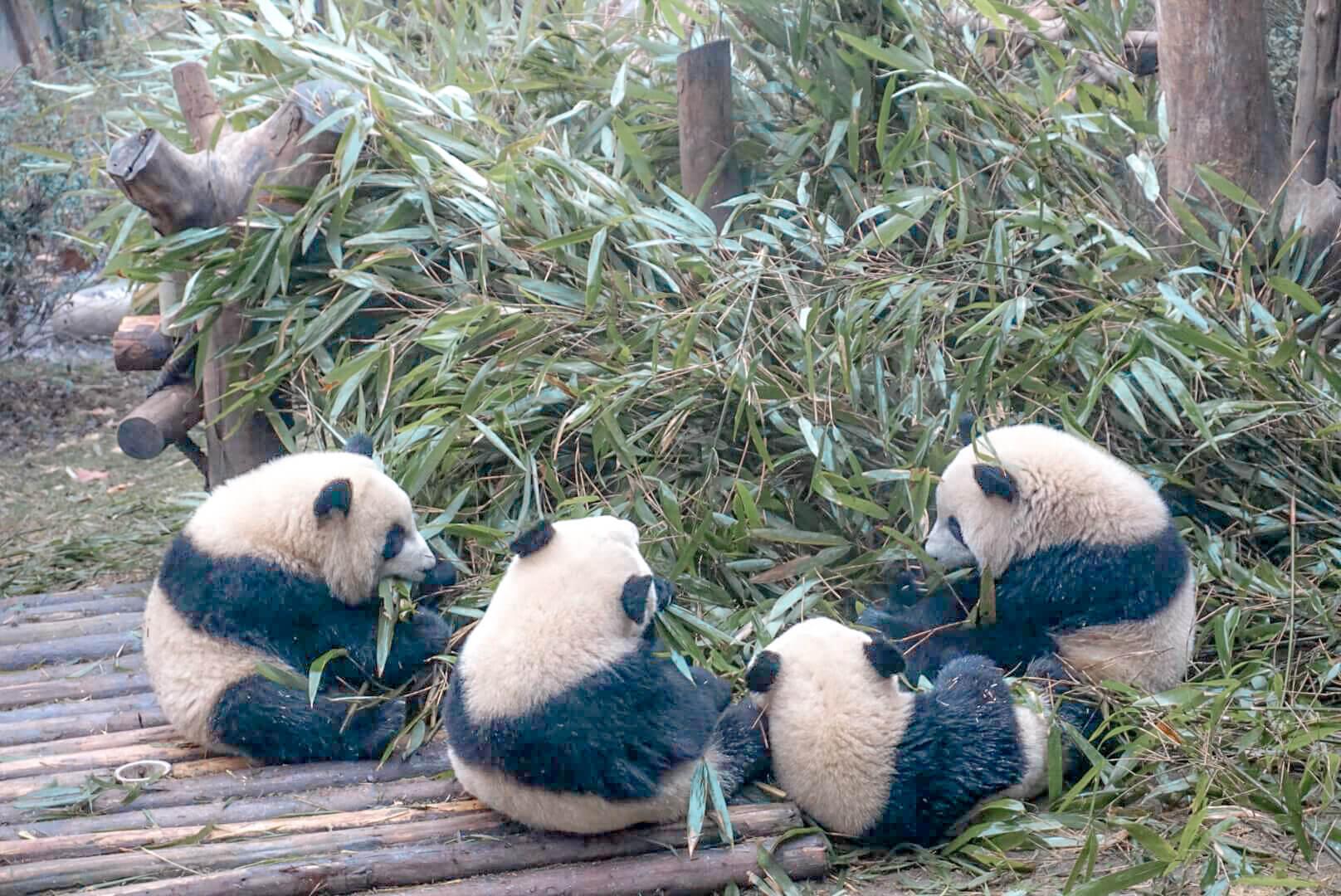 quand voir les pandas réveillés zoo chengdu