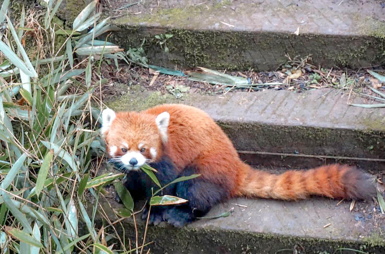 zoo de chengdu et ses pandas roux