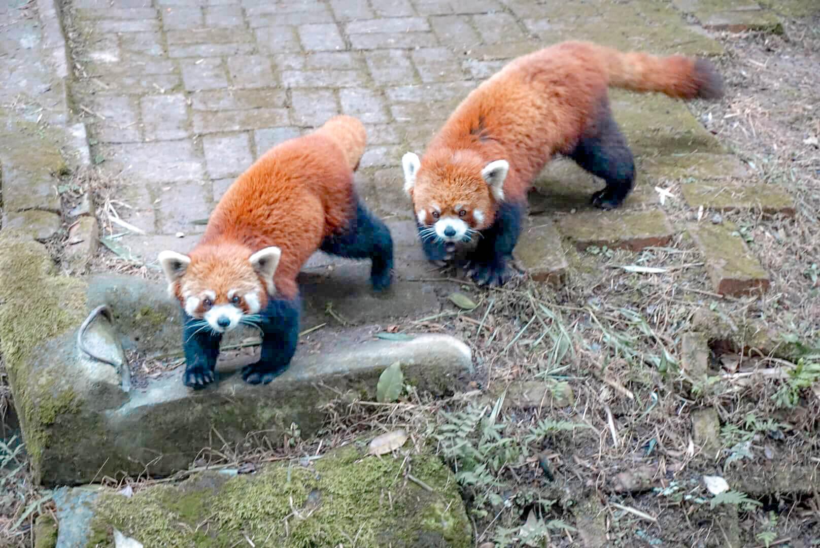quand voir pandas roux chengdu zoo