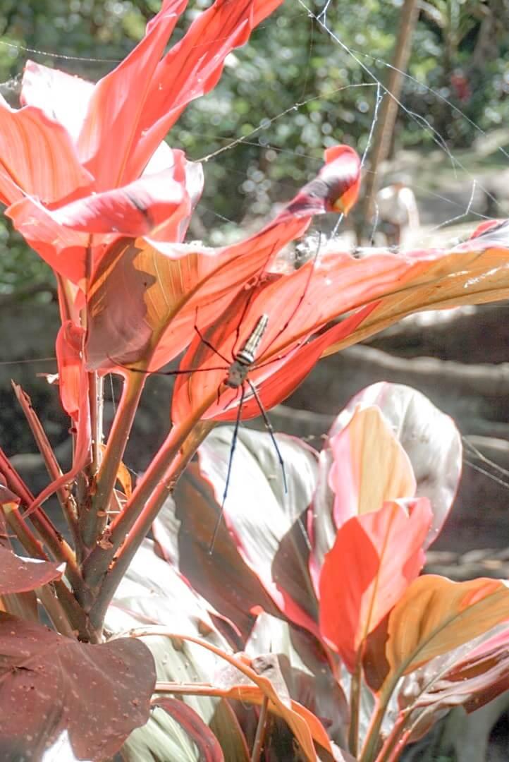 Enorme araignée Ubud Bali