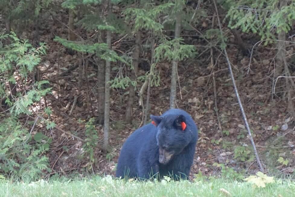 voir ours parc mauricie