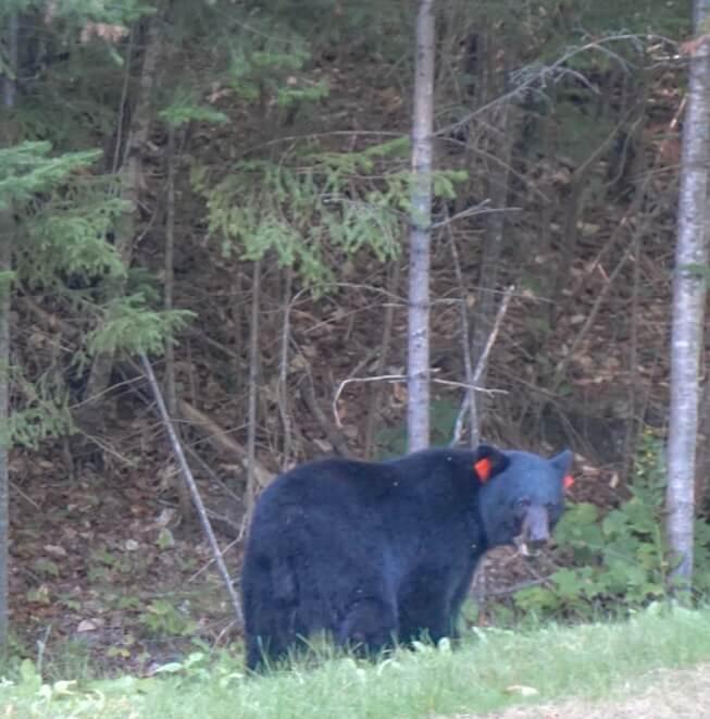 rencontrer ours en liberté parc quebec